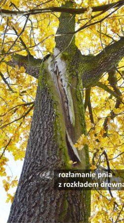 badania dendrologiczne - ekspertyza stanu zdrowotnego drzewa