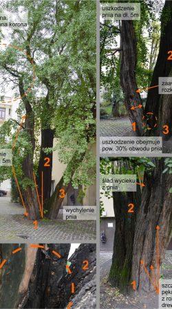 ekspertyza dendrologiczna stanu zdrowotnego drzewa pomnikowe