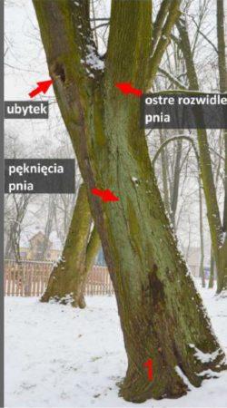 inwentaryzacja zieleni - opis stanu zdrowotnego drzewa
